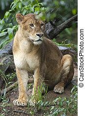 bello, leonessa, foto, isolato, foresta, selvatico