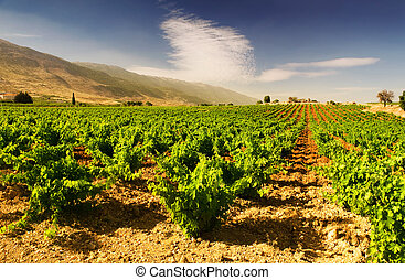bello, lussureggiante, uva, vigneto