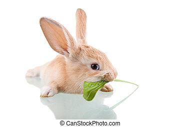 bello, mangiare, coniglietto