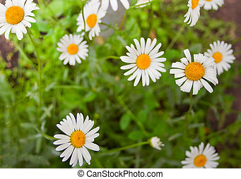 bello, meadow., chamomiles, natura, sole, medico, azzurramento, scena, day., campo, estate, fondo., primavera, medicina, alternativa, fiori, daisy., closeup.