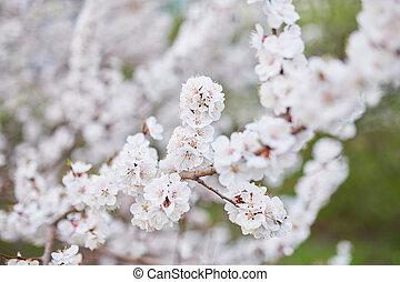 bello, natura, fiore, primavera, albero, scena, fondo., flare., azzurramento, sole