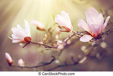 bello, natura, fiore, primavera, magnolia, scena, fondo., azzurramento