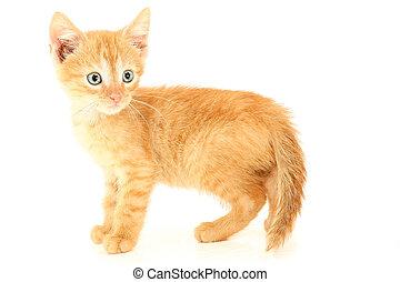 bello, occhi marroni, nocciola, gattino, arancia