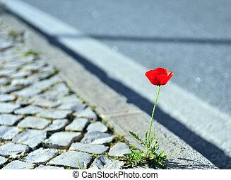 bello, papavero, crescente, asfalto