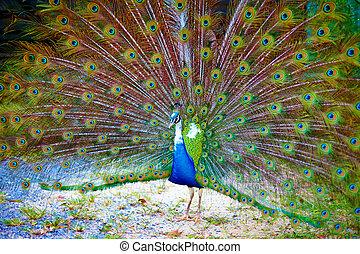 bello, pavone, visualizzazione, è, splendido, coda