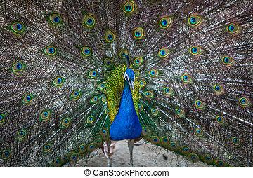 bello, pavone, visualizzazione, suo, colorito, coda, zoo, tbilisi