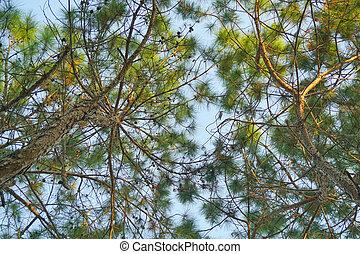 bello, pino, ramo, sullo sfondo, cielo blu