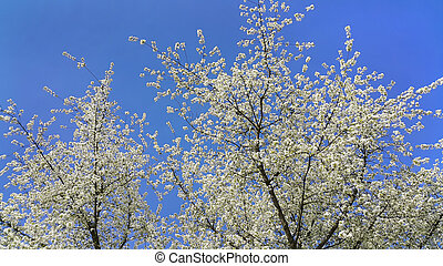 bello, primavera, albero flowering