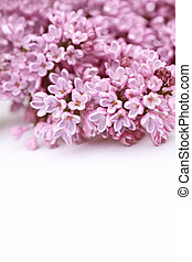 bello, primavera, fondo, lilla