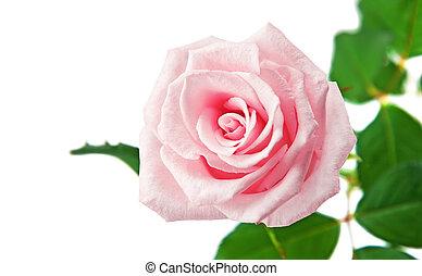 bello, rosa, bianco, isolato, fondo