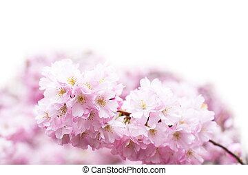 bello, rosa, ciliegia, primavera, vibrante, sakura, fondo, fiore, fiori