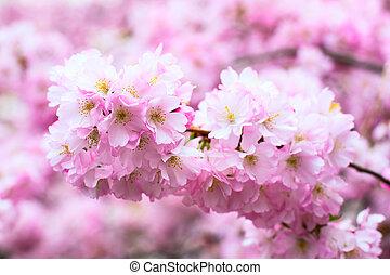 bello, rosa, ciliegia, sakura, fondo, fiore, fiori