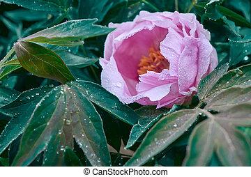bello, rosa, pionia, garden., primavera