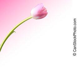 bello, rosa, realistico, illustrazione, tulipano, vettore, fondo