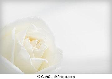 bello, rosa, sfondo bianco
