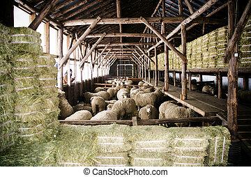 bello, sheep, corea, inverno, ranch, daegwallyeong, sud,...