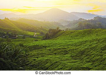 bello, tè, plantation., mattina, verde, vista