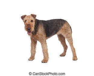 bello, terrier airedale, razza, cane