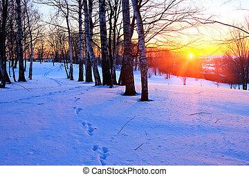 bello, tramonto, in, uno, inverno, foresta