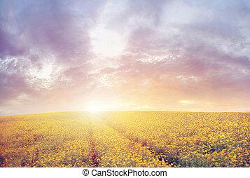bello, tramonto, sopra, il, canola, campo