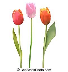 bello, tulips., colorito, tulipano, mazzolino, fondo., vettore, bianco