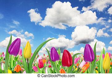 bello, tulips, fondo