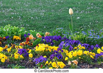 bello, tulips, viole pensiero, parco