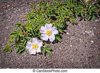 bello, vecchio, asfalto, marciapiede, crepa, crescente, fiori