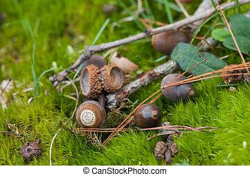 bellotas, piso bosque