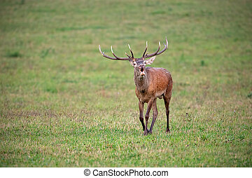Bellowing red deer stag walking forward in autumn
