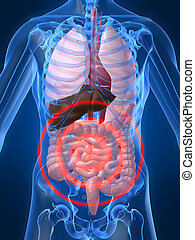 3d rendered illustration of a human anatomy with highlighted belly