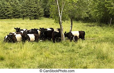 belted, galloway, kühe