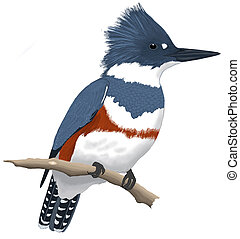 Belted Kingfisher - Female Ceryle alcyon Computer painting