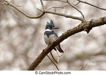 Belted kingfisher in a tree - A male belted kingfisher...