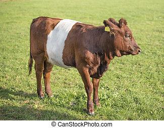 belted, lakenvelder, kalf, koe