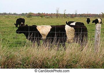Beltway cows grazing in a field