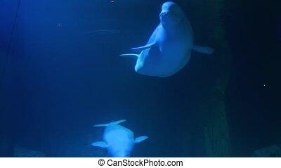 Beluga wale underwater. Rear wild life animal. Mammal marine fauna. . High quality 4k footage