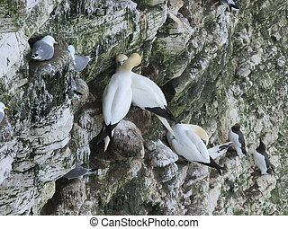 Bempton Bird Sanctuary - Sea Birds Nesting at the bird ...