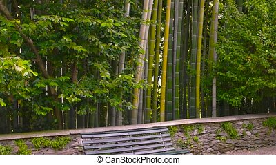 Bench in bamboo grove. Tall green trees. Evergreen perennial...