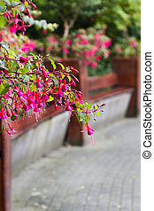 Benches in park with fuchsia flowers