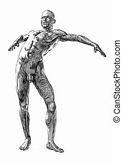 Bends - An anatomical cross-hatching illustration of a nude...