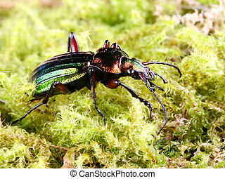Beneficial Insects Carabus auratus - The iridescent green ...