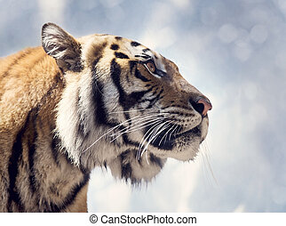 bengal 虎, 肖像