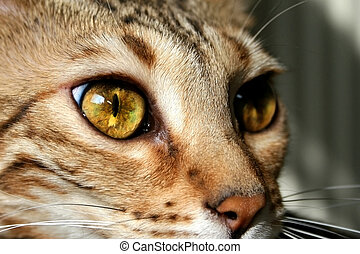 Bengal cat: Bengal cat eyes closeup