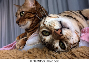 Bengal cat: Bengal cat looking upside down in camera