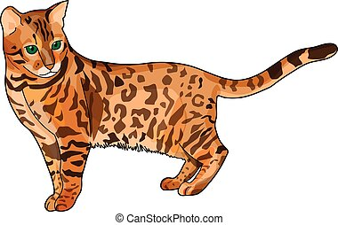 Bengal cat - The brown spotted bengal cat on a white...