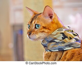 Bengal Cat in a camouflage scarf