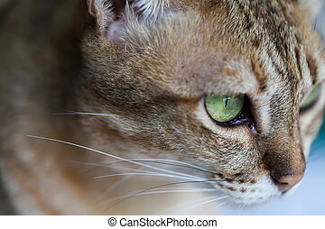 Bengal cat in light brown and cream