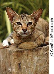 Bengal cat in light brown and cream on the timber