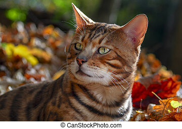 Bengal cat in the autumn sunny forest